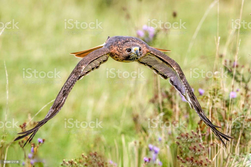 Águila de cola roja - Foto de stock de Animales cazando libre de derechos