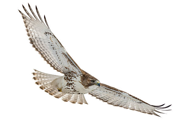 Red-tailed hawk with wings spread open isolated on white stock photo