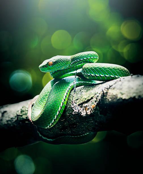 serpent à queue rouge (trimeresurus albolabris) - serpent photos et images de collection