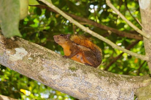 Red-tailed Squirrel Sciurus granatensis Costa Rica