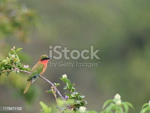 A species shot of a red-throated bee-eater perched on branch looking for bees to eat