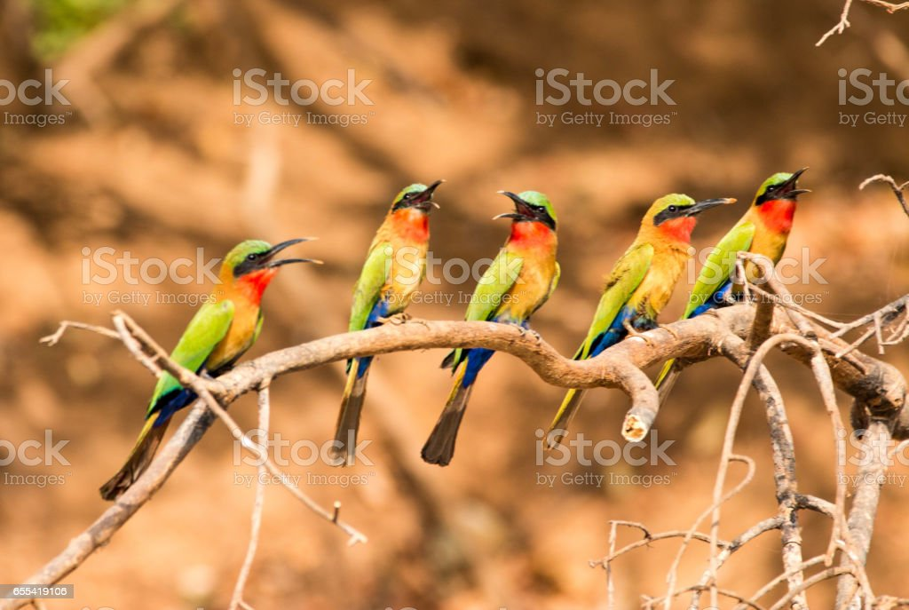 Red-throated bee-eaters, Senegal stock photo