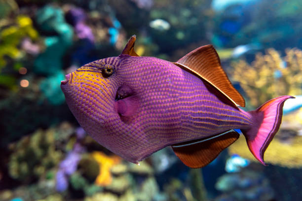 Red-toothed triggerfish - Odonus niger saltwater fish stock photo