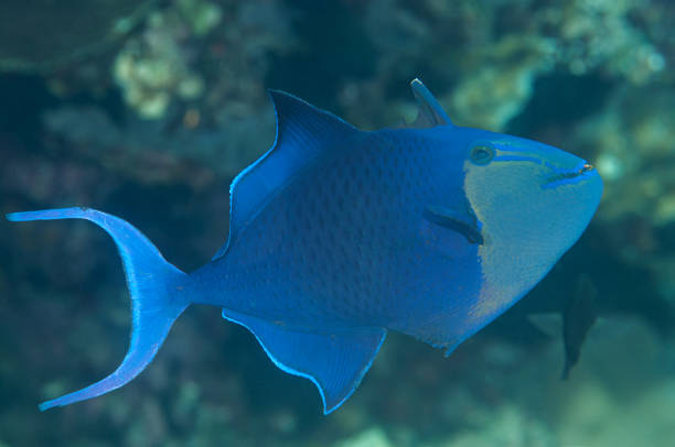 Red-toothed triggerfish ( Odonus niger ) swimming over coral of Bali stock photo