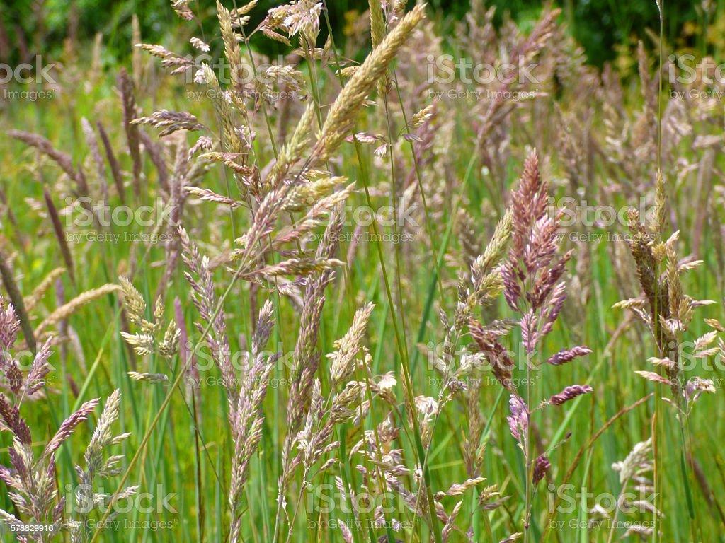 Redtop Prairie Grass Agrostis gigantea stock photo