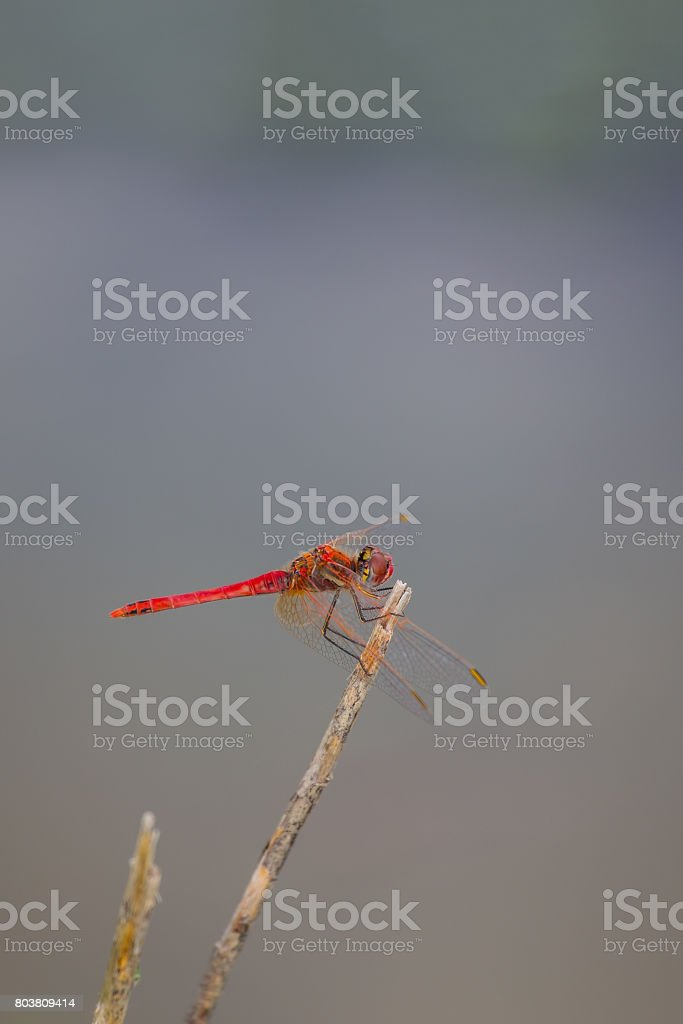 Red-veined darter or nomad (Sympetrum fonscolombii) stock photo