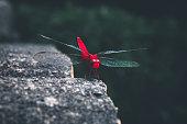 a red-veined darter  sitting still on a rock