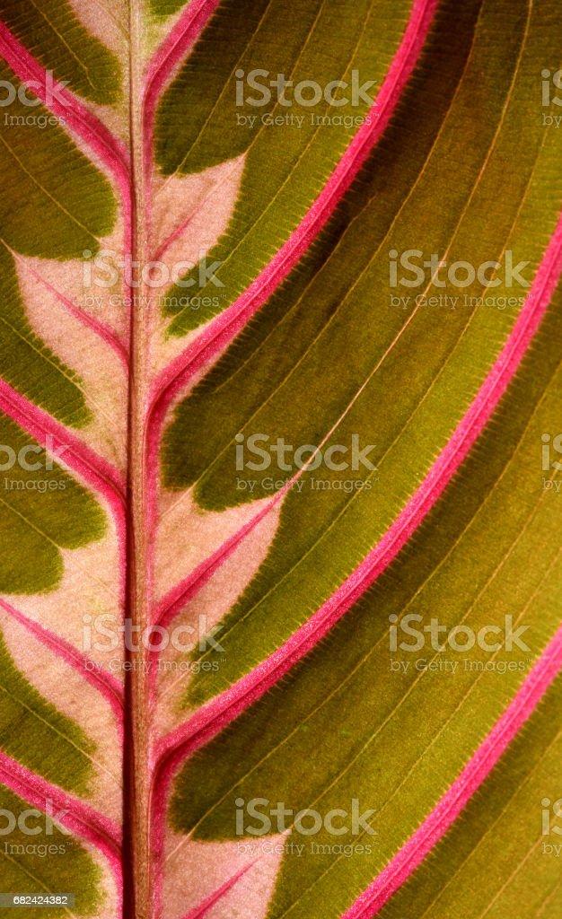 Usine de prière Sympetrum (Maranta leuconeura erythroneuro) photo libre de droits