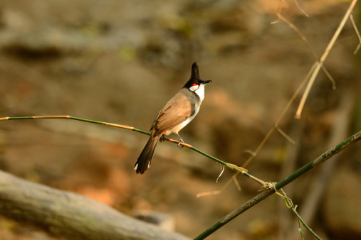 Redwhiskered Bulbul Stock Photo - Download Image Now