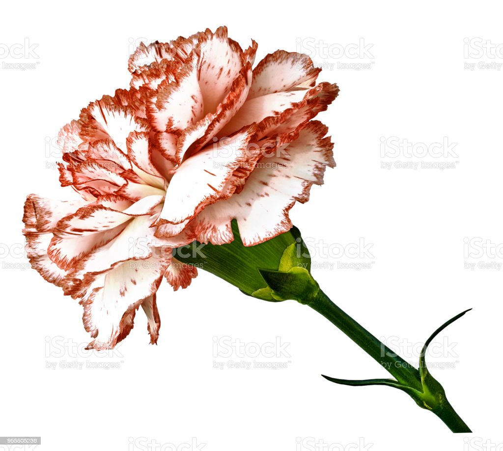 Redwhite Carnation Flower On T A White Isolated Background With