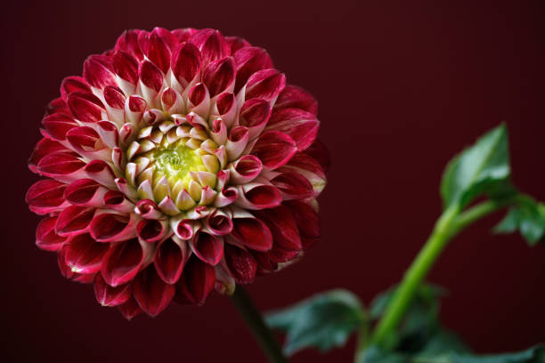 Rot-weiße Dahlie Blüte – Foto