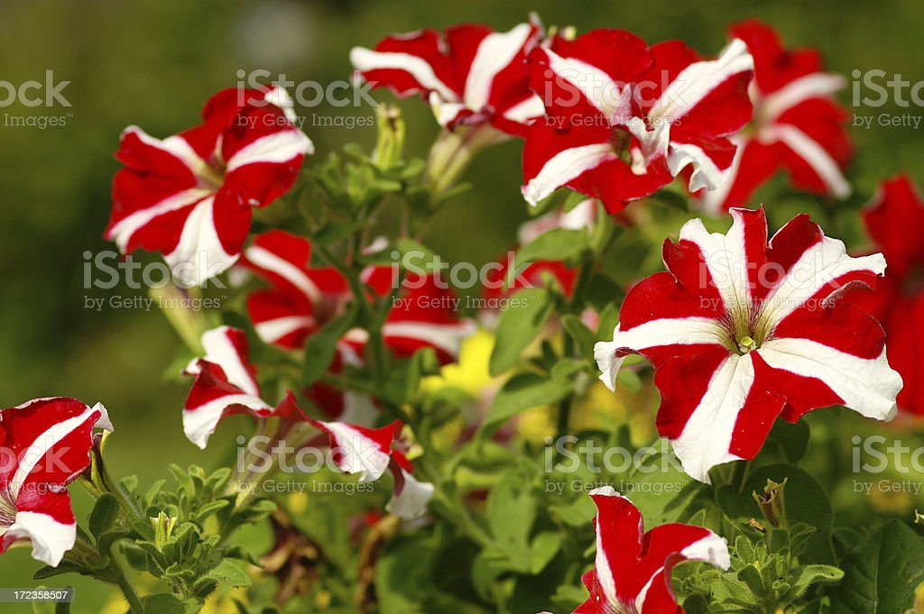 red-white petunias royalty-free stock photo
