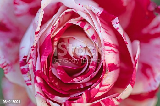 red and white rose close up