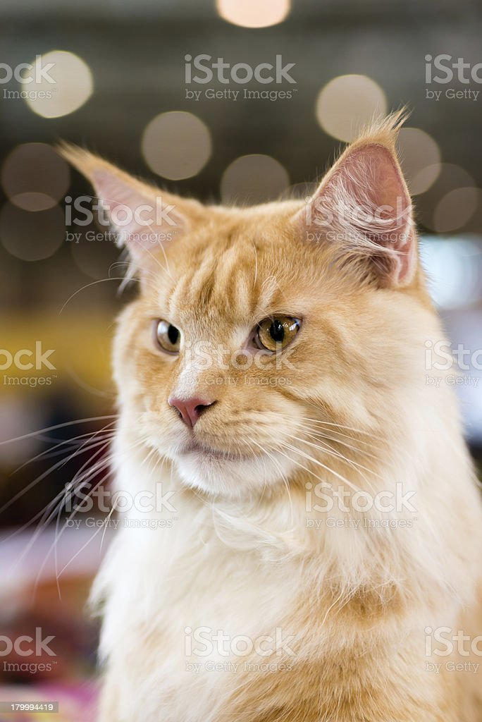 Red-인명별 얼룩무늬고양이 메인쿤캣 royalty-free 스톡 사진