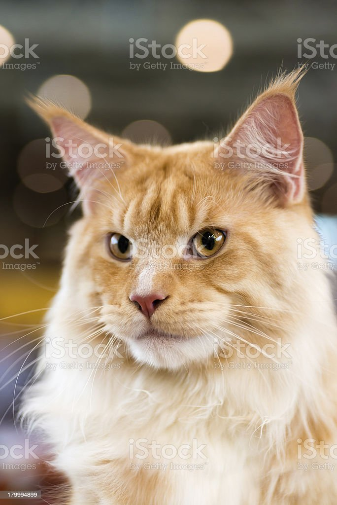 Red-white tabby Maine Coon cat royalty-free stock photo