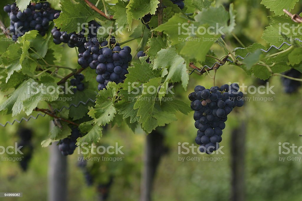 redwine grapes 2 royalty-free stock photo