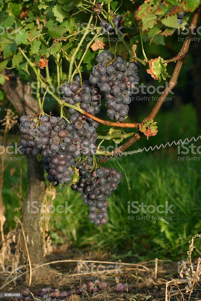redwine grapes in autumn stock photo