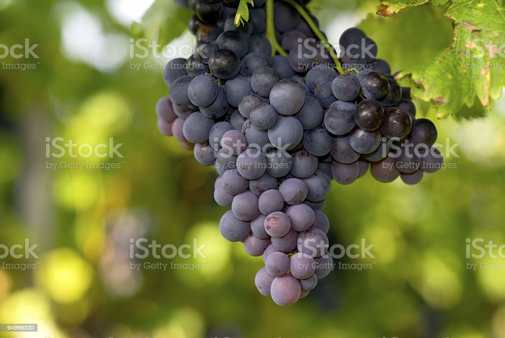 redwine grapes stock photo