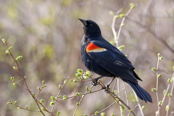 Red-Wing Blackbird stock photo
