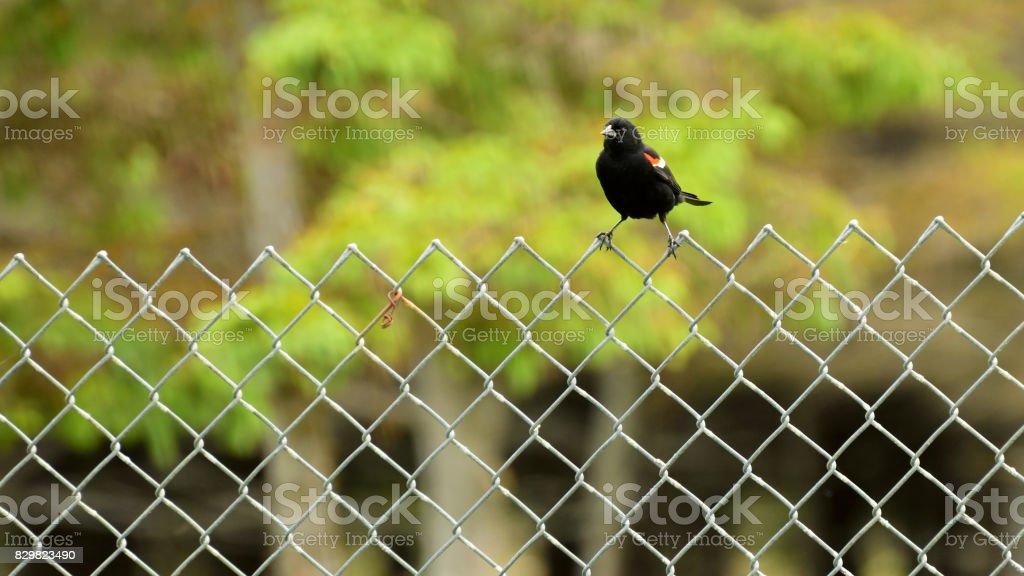 Redwing Blackbird Sitting on a Metal Fence stock photo