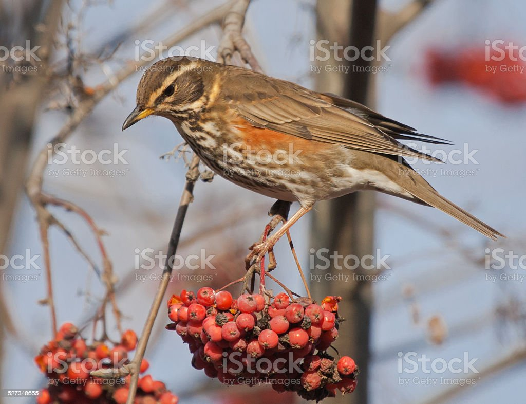 Redwing on branch of mountain ash stock photo