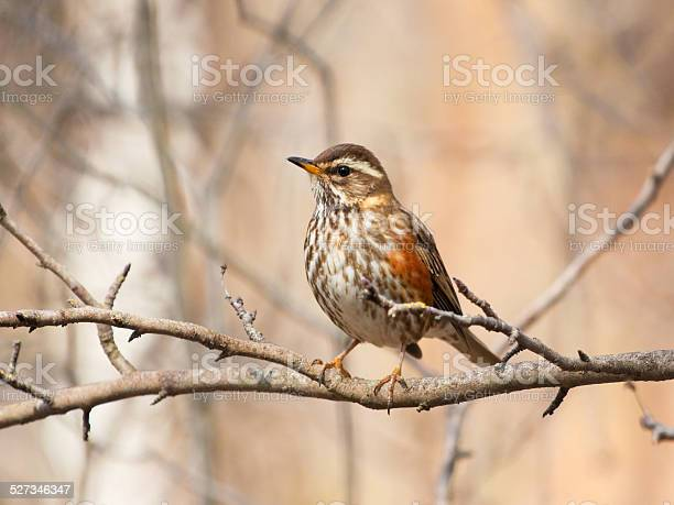 Photo of Redwing on the branch
