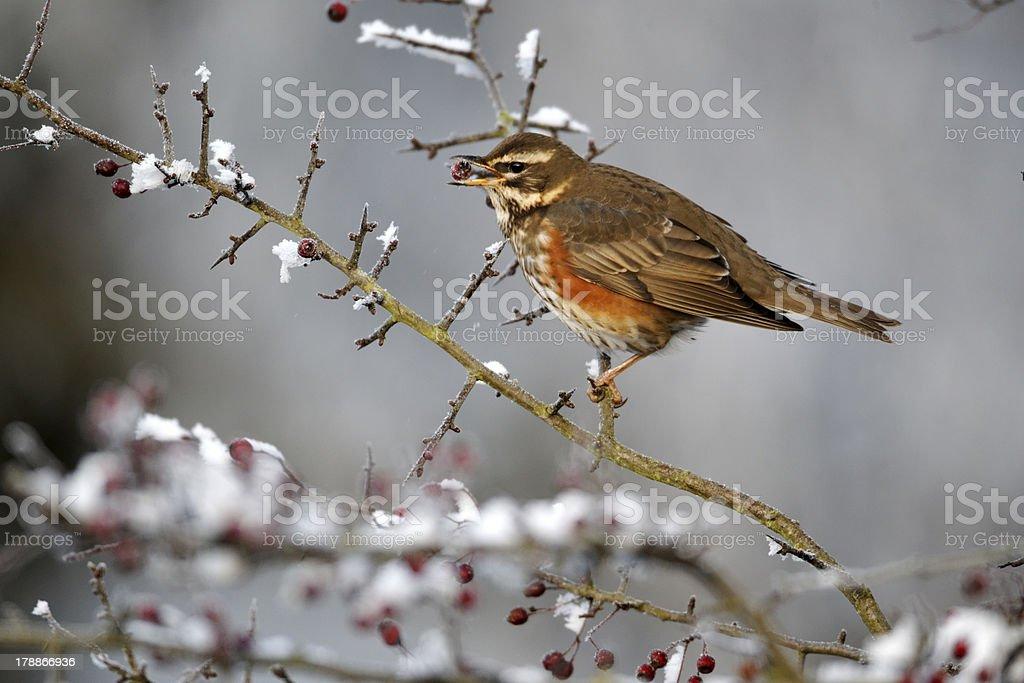Redwing, Turdus iliacus stock photo