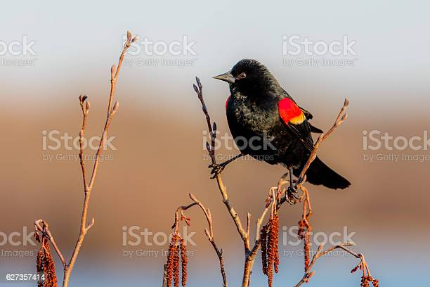 Photo of Red-winged Black Bird on two Branches