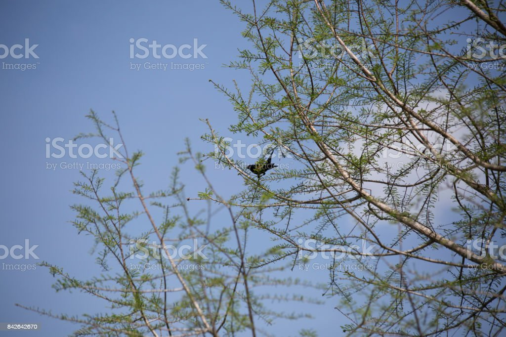 Red-Winged Blackbird in a Tree stock photo