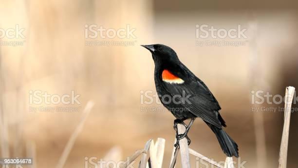 Photo of Red-Winged Blackbird