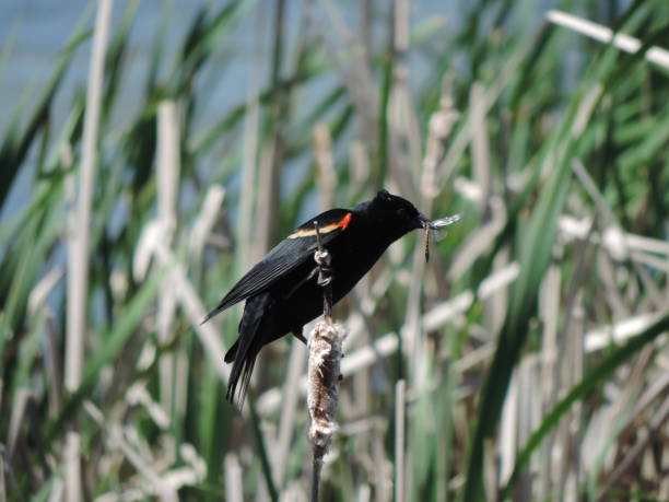 Red-winged blackbird successfully captures its prey stock photo