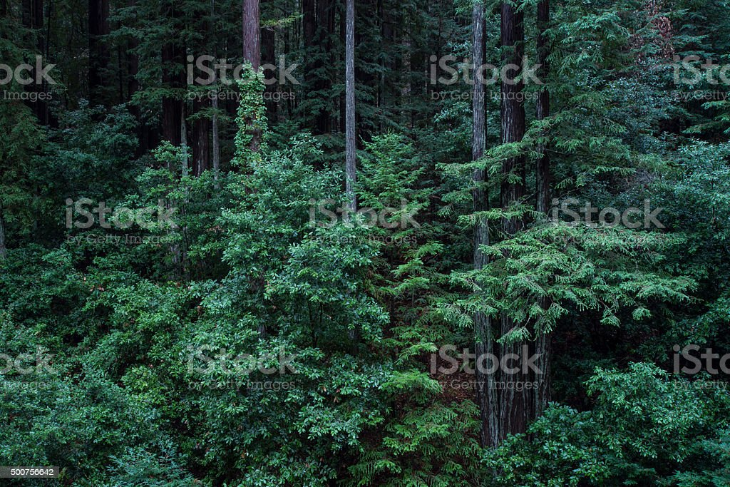 Redwood Forest After Rainstorm stock photo