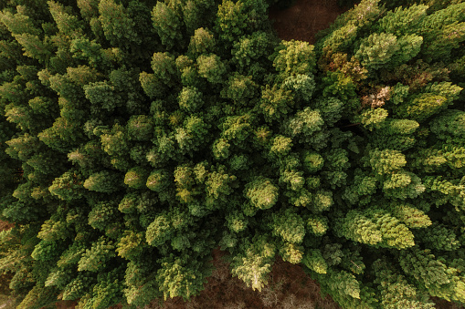 A redwood forest as seen from above