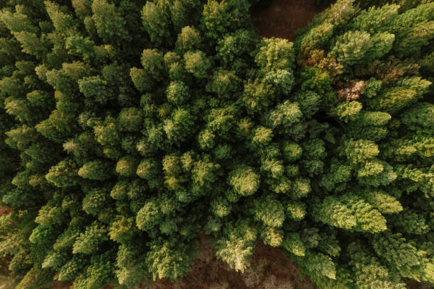 Redwood forest as seen from above - foto stock