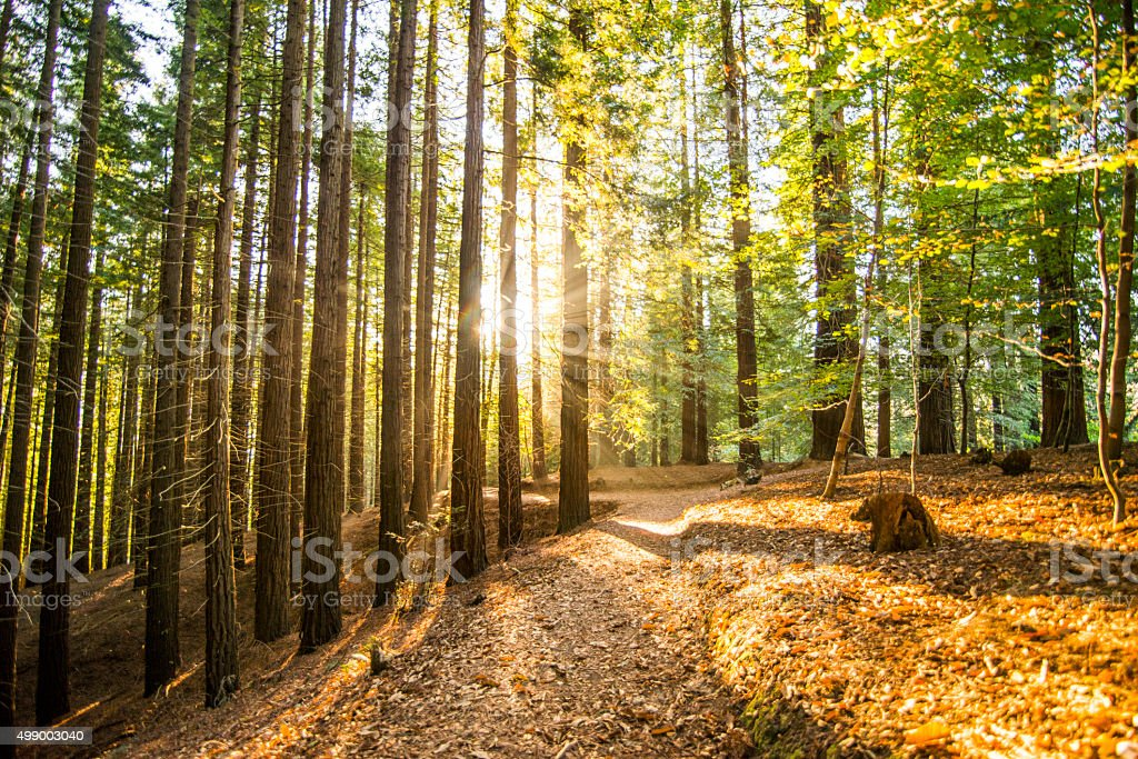 Redwood forest at sunset stock photo