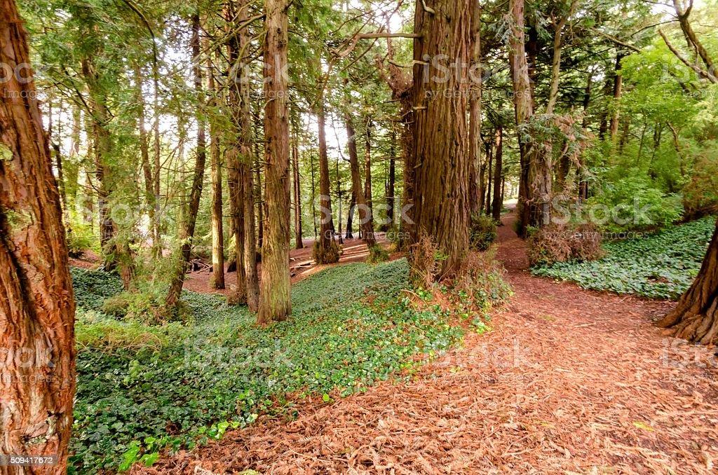 Redwood Forest Golden Gate Park, San Francisco stock photo