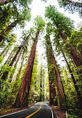 Redwood forest in california