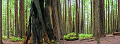 Redwood forest panorama in spring