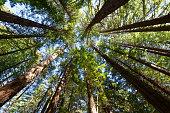 Redwood forest on Te Mata Peak