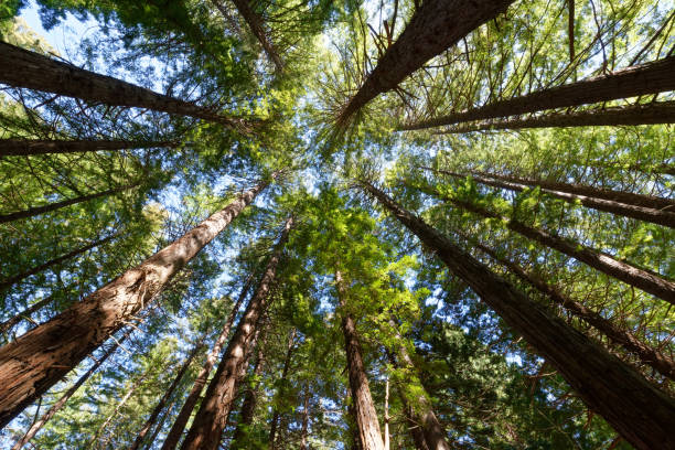 Redwood Forest in the Hawkes Bay, New Zealand stock photo
