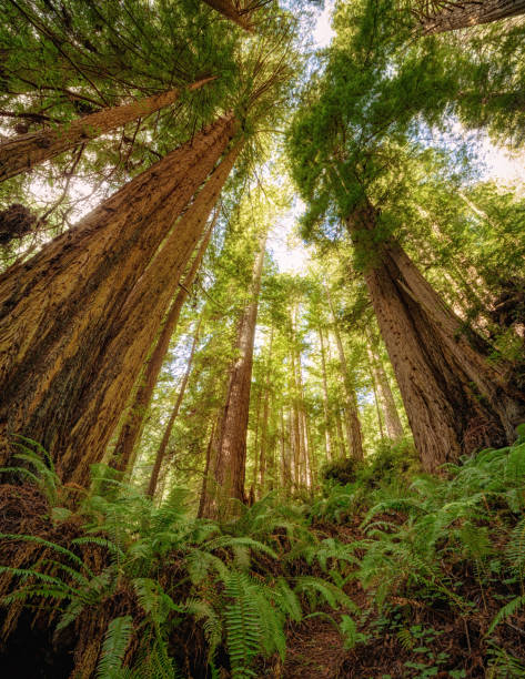 Redwood Forest Landscape in Beautiful Northern California Color image of a redwood forest. Northern California, USA. redwood tree stock pictures, royalty-free photos & images