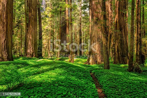 Color image of a redwood forest. Northern California, USA.