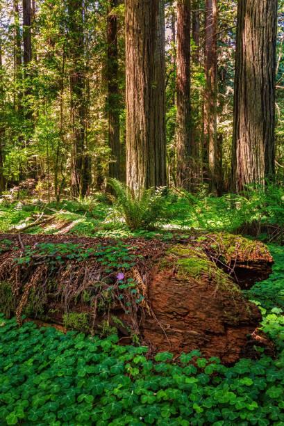 Redwood Waldlandschaft im schönen Norden Kaliforniens – Foto