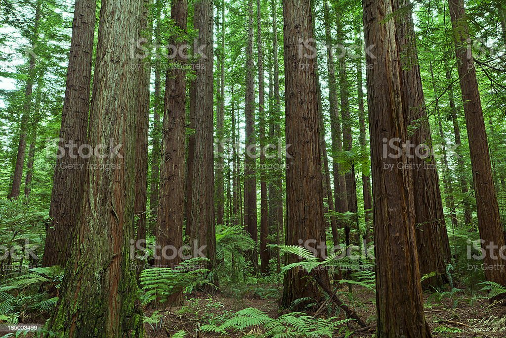 """Redwood Forest """"The tall trees of a redwood forest, with fern undergrowth."""" Backgrounds Stock Photo"""