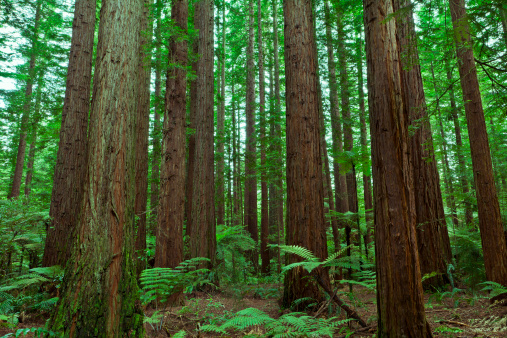 Redwood Forest Stock Photo - Download Image Now