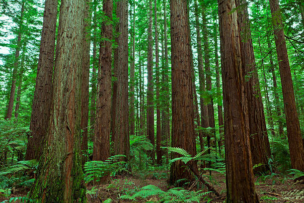 Redwood Forest stock photo