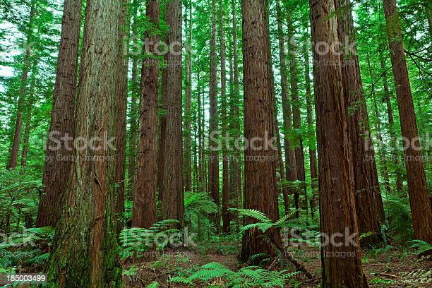 "Redwood Forest ""The tall trees of a redwood forest, with fern undergrowth."" Backgrounds Stock Photo"
