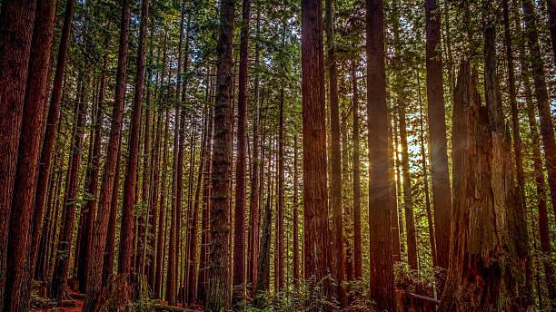 Redwood Forest – Foto