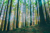 A redwood/secuoia forest