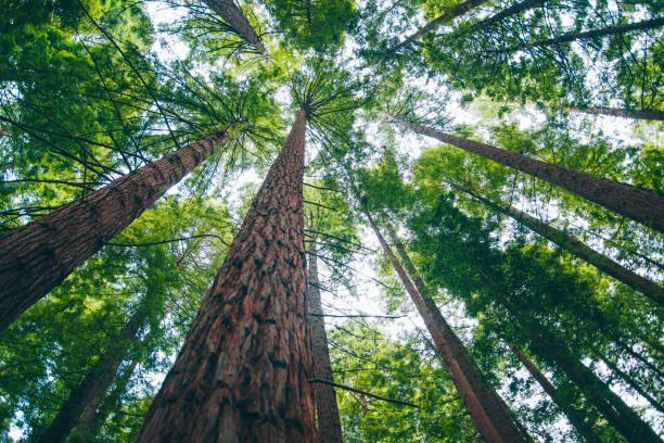 floresta de redwood - alto descrição geral - fotografias e filmes do acervo